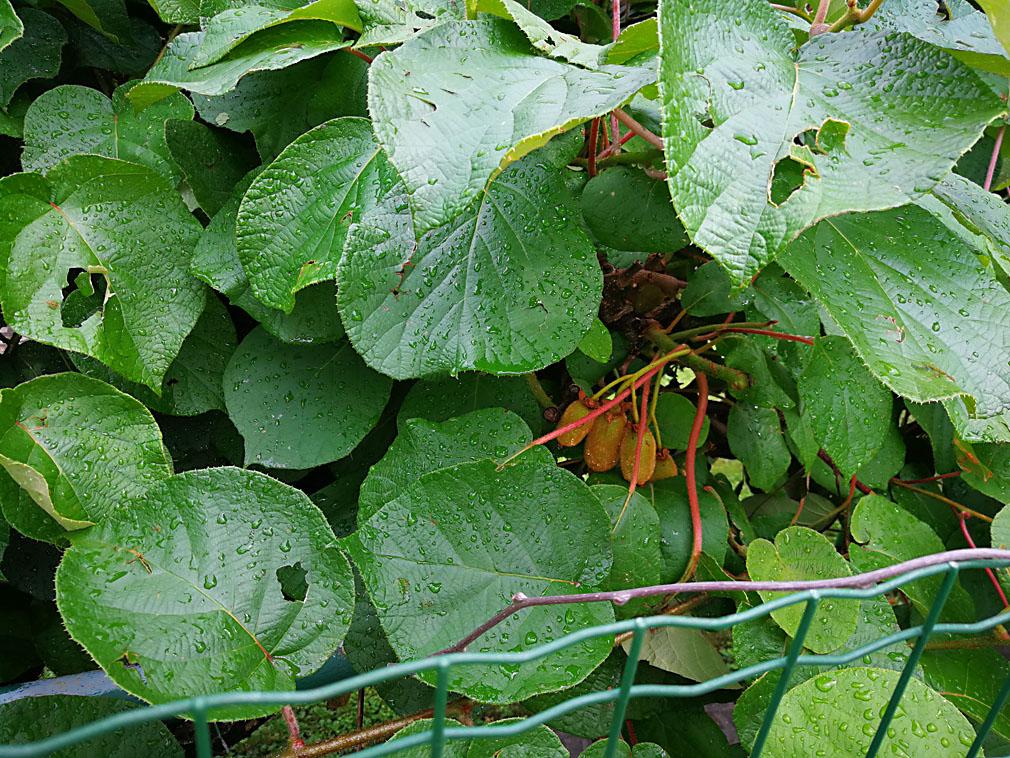 foglie bucate dalla grandine